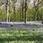 Bluebell Wood - Sam